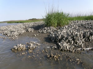 About 85% of oyster habitats have been lost, putting at risk the health of millions of miles of coastal fisheries