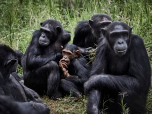 A group of chimpanzees at Lwiro Primate Centre in Lwiro, South Kivu