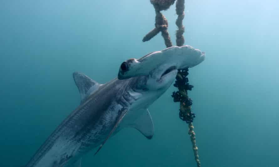 QLD Great Barrier Reef Shark Control Program. Shark Drum lines.