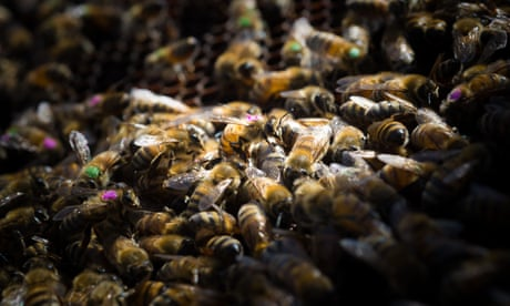 Monsanto's global weedkiller harms honeybees, research finds