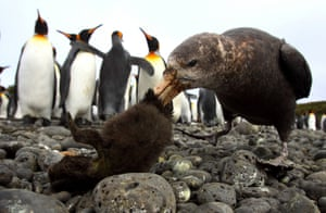 Dynamic ecosystems winner: Stinkpot Special: Penguin à la King, photographed on Marion Island (Prince Edward Islands)