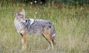 A coyote attacked a five-year-old girl at a playground in Thornwood, New York, on Sunday.