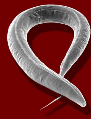 Sulston's study of the tiny roundworm Caenorhabditis elegans helped to unlock knowledge about human genes.