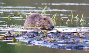 Funding from the People's Trust for Endangered Species helped reintroduce beavers in Knapdale Forest in Scotland.