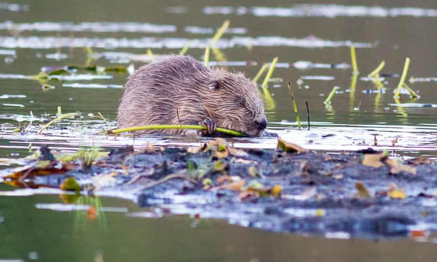 A beaver in Knapdale, Scotland.