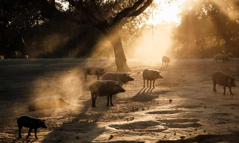 Animals are free to roam under the shade of trees and shrubs at a co-operative farm in Portugal.