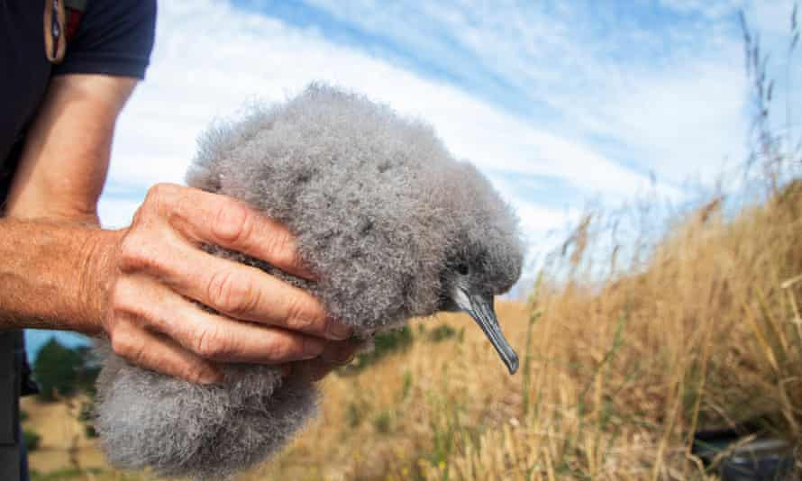 The Hutton's shearwater chick, a chubby puff of grey