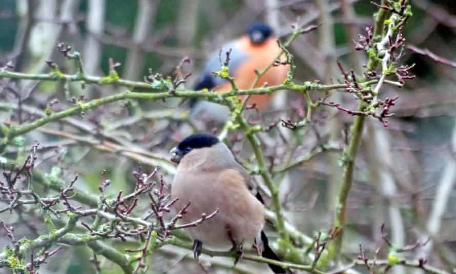 The hen bird feeding on hawthorn buds, with the brightly coloured male in close attendance
