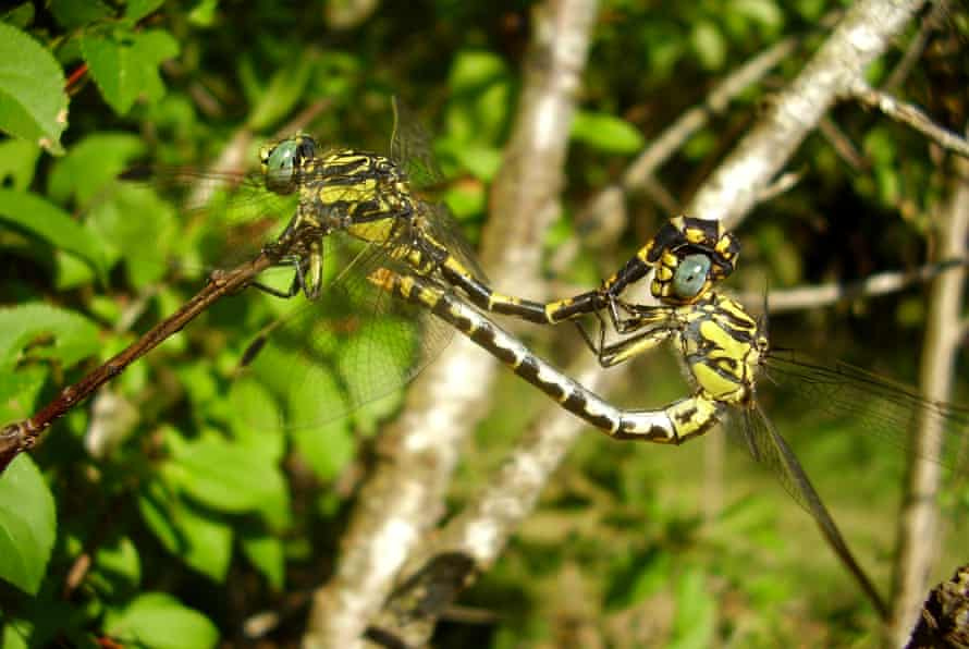 The river club-tailed dragonfly