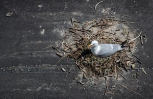 A herring gull nests on beach hut roof in Lyme Regis, Dorset, England