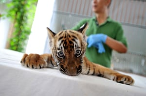 A South China tiger cub at Guangzhou zoo, Guangdong province, China. It is the first such cub to have been successfully bred in the zoo in 15 years: the subspecies is believed to be extinct in the wild.