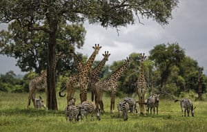 Giraffes and zebras congregate under the shade of a tree in Mikumi national park, Tanzania