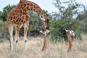 Giraffe with young in the Great Rift Valley, Kenya