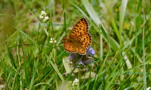 A small pearl-bordered fritillary perched on a bugle flower
