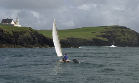 Fungi the dolphin greets a sailing boat in Dingle harbour, Ireland in 2015.