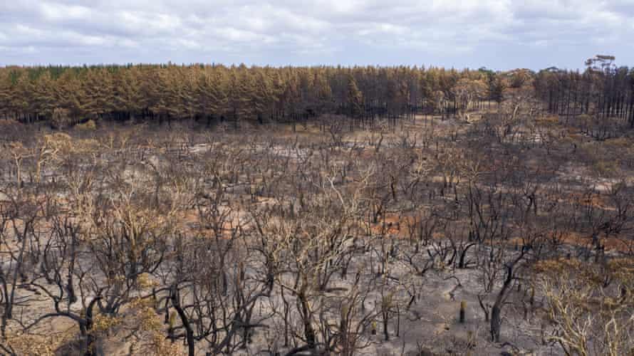 Scorched trees on Kangaroo Island
