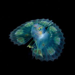 Larval fish of Dendrochirus
