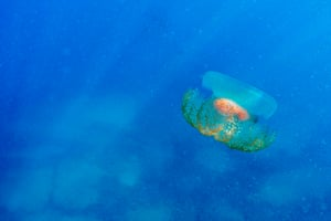 A jellyfish off the coast of the northern Lebanese town of Qalamoun