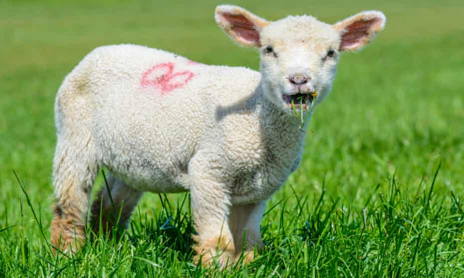 A lamb in the south of England