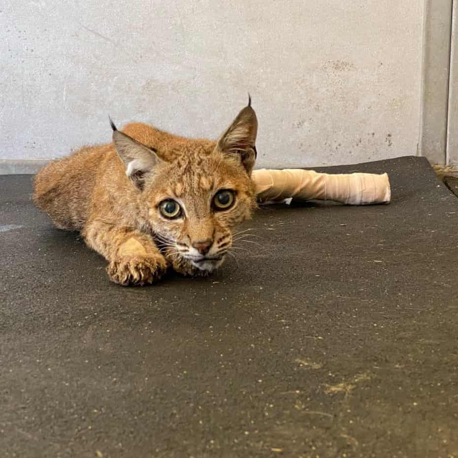 A bobcat recovers at Gold Country Wildlife Rescue.