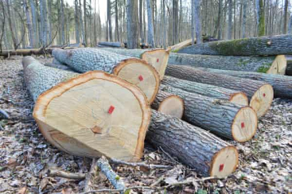 Felled trees in Białowieża forest.