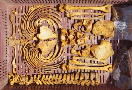 The arms and torso of a juvenile skeleton from the North Tombs Cemetery, packed up all nice and neat in a tray after removal from the grave.