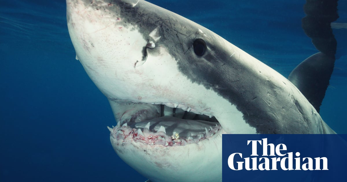 Cape Cod: eight great white sharks seen feeding on humpback whale carcass