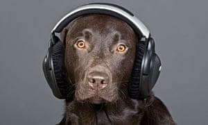 A chocolate labrador listening to headphones