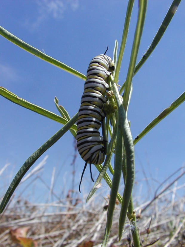 Western monarch caterpillars depend on a diet of milkweed for two weeks of their life. Photograph: Courtesy River Partners
