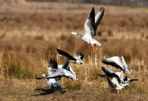 A flock of spotted geese at the Caohai national nature reserve in Bijie county in Guizhou province, southwest China on 1 February