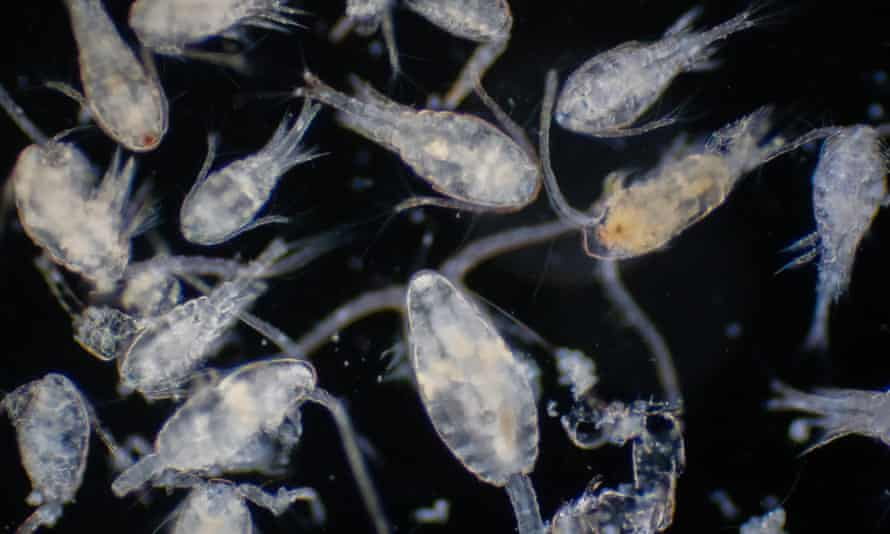 Copepods, the size of a needle's tip, make vast ocean migrations.