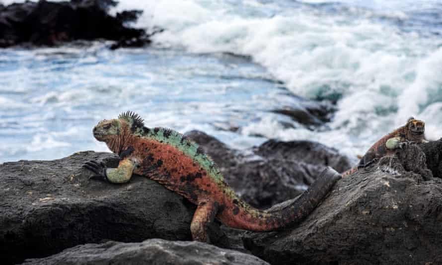 A marine iguana on Floreanna Island