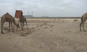 Camels on disused irrigated land near the Tata Mundra power plant