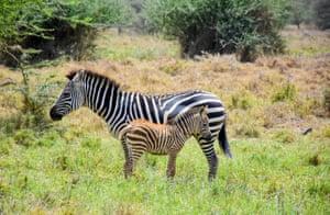 A Zebra and foal in the Nairobi National Park, Kenya