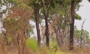 Kordofan Giraffe - Cameroon