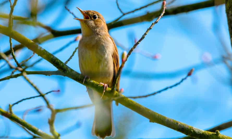 A nightingale singing, perched on a tree branch