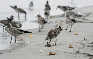 Birds feed on dozens of turtle eggs exposed by Hurricane Dorian on Melbourne Beach, Florida