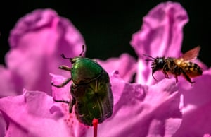 A goldsmith beetle crawls on rhododendron flowers as a bee approaches it in a garden outside Moscow