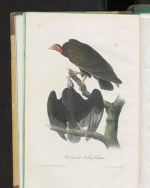 Drawings from John James Audubon's The Birds of America.