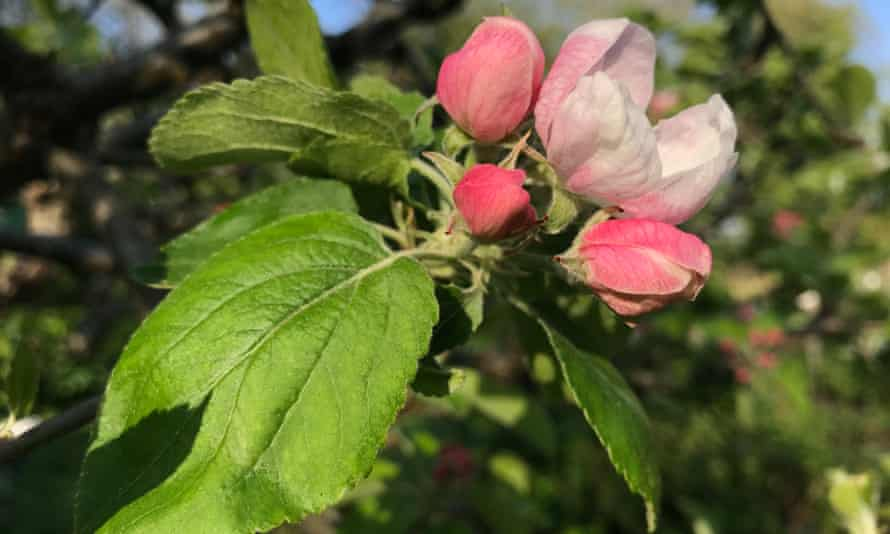 Kindest cuts: now is the time to prune apple trees to ensure spring blossom.