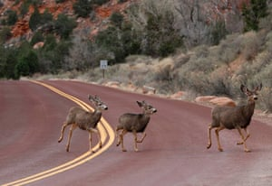 Mule deer cross a road in Zion national park in Utah, US