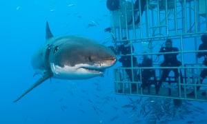 Is banning cage diving actually bad for sharks? | Science | The Guardian