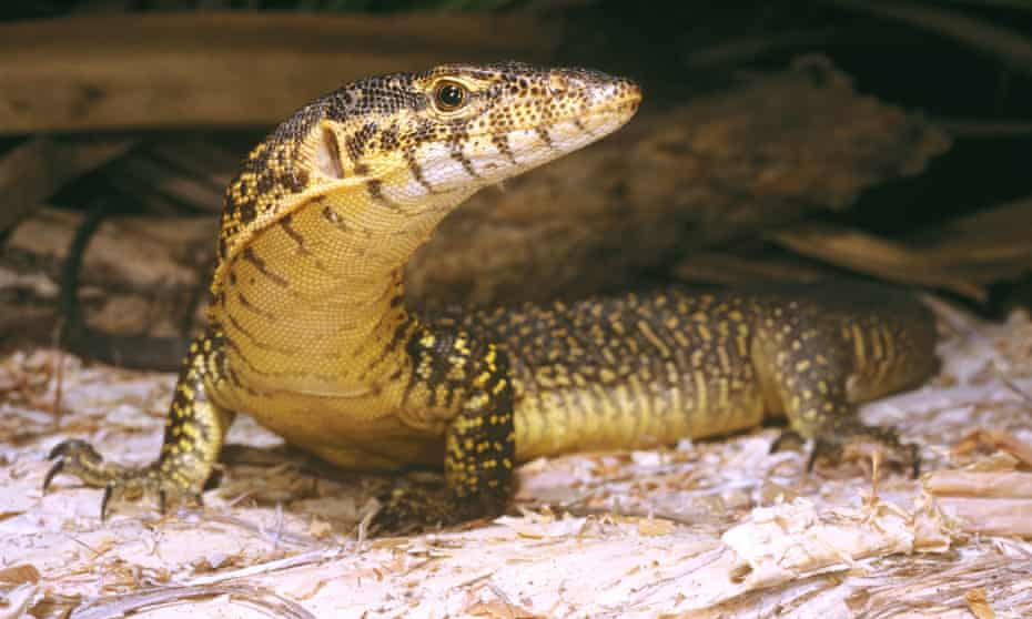 Mitchells water monitor, Varanus mitchelli, Western Australia. A focus of this year's report was Autralian reptiles, 7% of which are threatened with extinction.