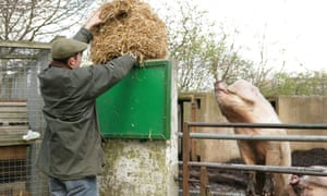 A man feeds a pig with part of a bale of hay
