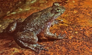 The southern gastric-brooding frog was native to Queensland, Australia, but is now considered extinct.
