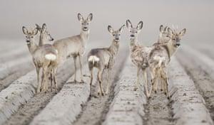Deer in field near Hildesheim, Germany