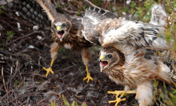 Hen harrier chicks. The British grouse shooting sector claims to 'work with police to stamp out incidents of raptor persecution'. Photograph: Owen Humphreys/PA