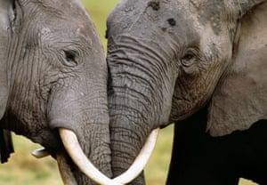 African elephants socialising in Amboseli National Park, Kenya.