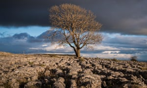 ash tree on the limestone pavement above Malham in the Yorkshire Dales.