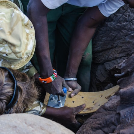A tracking collar is fitted to elephant Tim in Amboseli National Park, Kenya, on 10 September 2016.